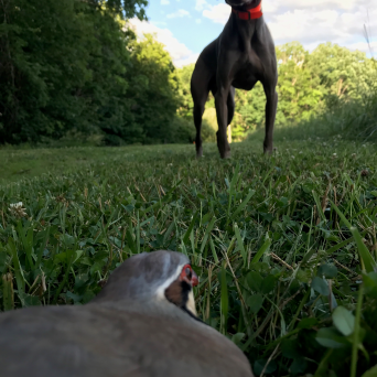Chukar On-Point w/Kick'em Up Cooper (WM)