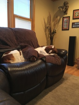 Relaxing after the hunt! Who is spoiled! Ajax Hurricanes Bird Finding Machine (call name Radar) on the left and Ajax Jaros Josey Wales (call name Josey) on the right.
