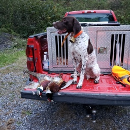 Northern Exposure Sir Winston (Winston) (GSP) 1st Morning of PA Pheasant Hunt